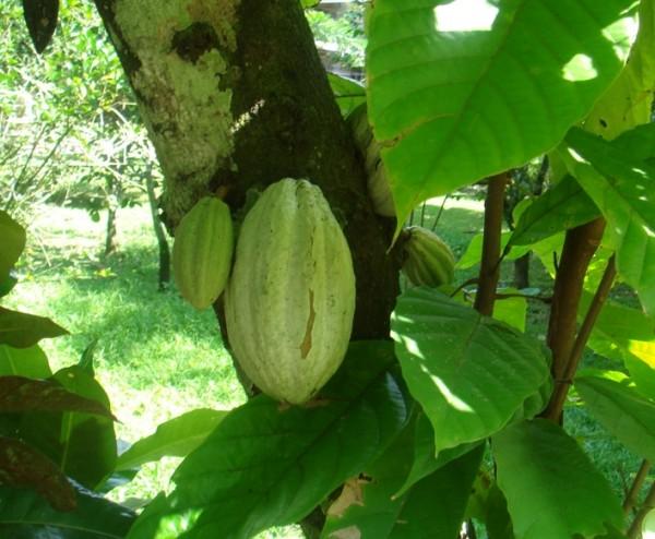 cacao mexico