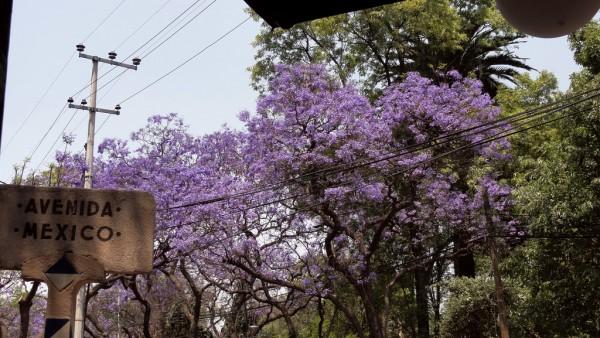 arbol jacarandas ciudad de mexico df