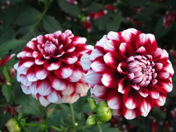 dalia flor nacional mexico