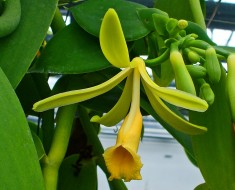 orquidea vainilla