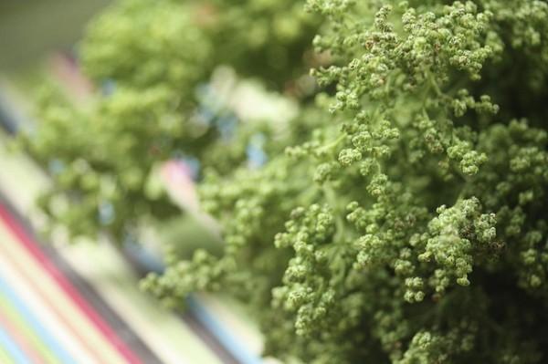 semillas huauzontle