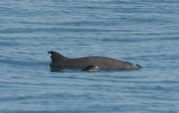 vaquita marina alimentacion que come