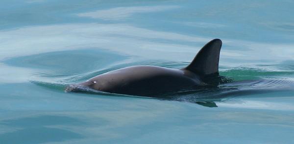 imagenes vaquita marina