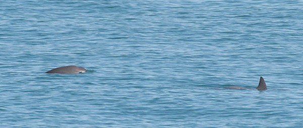 vaquita marina peligro extincion