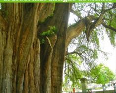 Árbol del Tule en Oaxaca | El árbol más antiguo de México