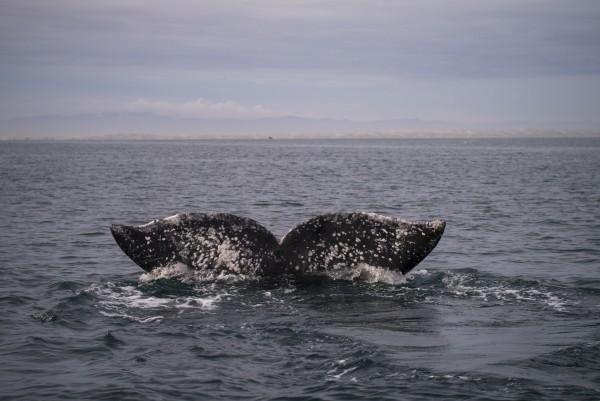 ballenas grises en los cabos mexico