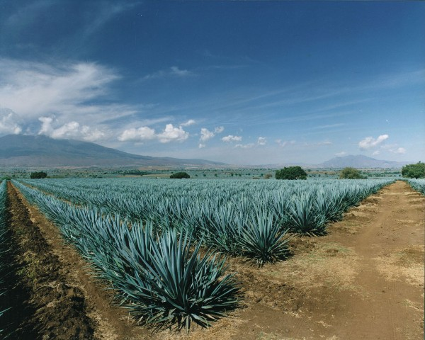 campo agave