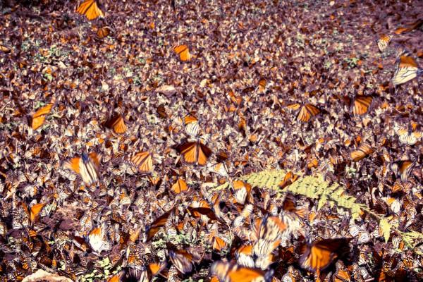 mariposa monarca donde vive