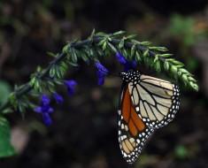 mariposa monarca mexico