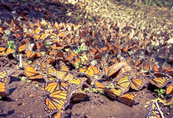 migracion mariposa monarca mexico