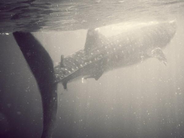 nadar con tiburones ballena isla mujeres quintana roo
