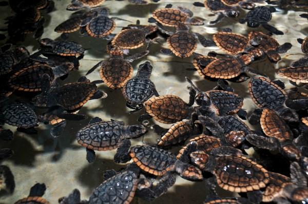 tortugas mexico especies