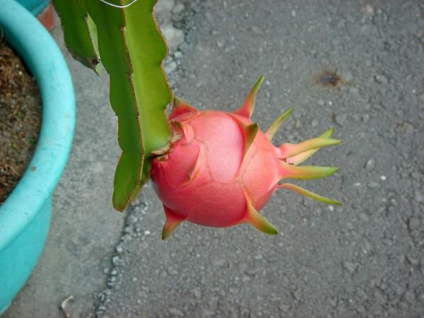 pitayas cactus
