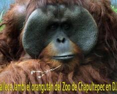 chapultepec jambi orangutan