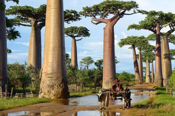 arbol baobab madagascar