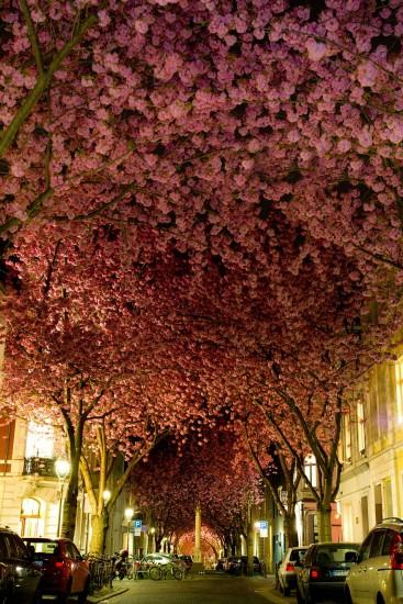 cerezo en flor alemania