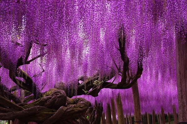 glicinias 144 años de edad japon