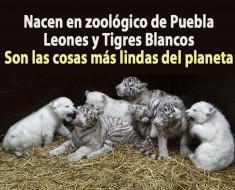 Nacen en zoológico de Puebla leones y tigres blancos. Son las cosas más lindas del planeta.