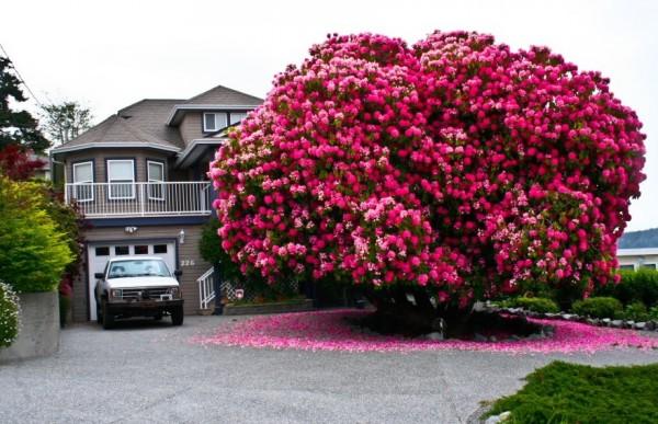 rododendros 125 años de edad canada
