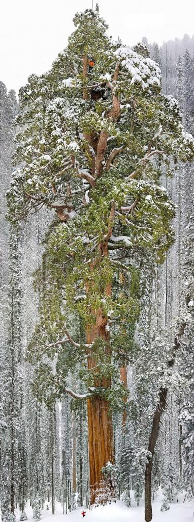 tercer mayor secuoya del mundo california