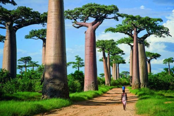 La avenida de los Baobabs, Madagascar