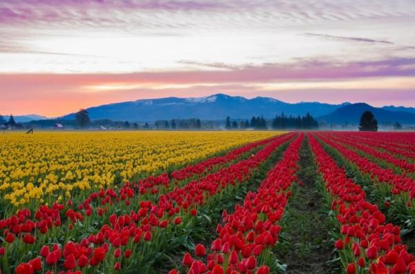 Campo de tulipanes en el valle de Skagit, EE.UU.