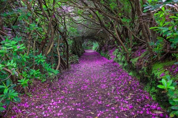 tunel rododendros kenmare irlanda