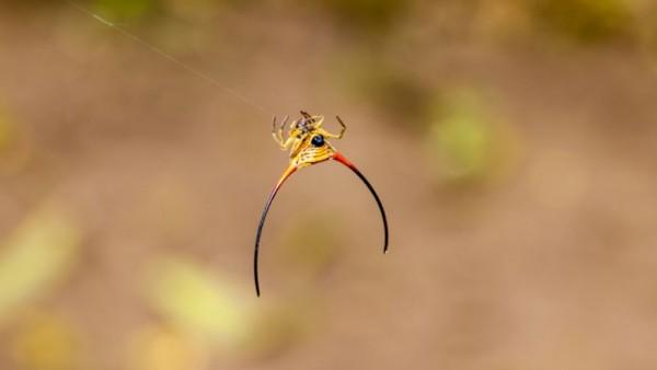 Araneidos. Araña con cuernos. (Araneidae)