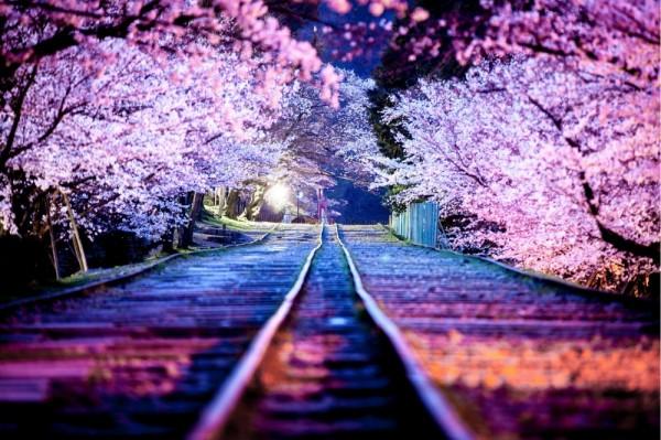arboles cerezos en flor japon