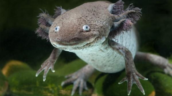 Axolotl, El ajolote, del náhuatl axolotl