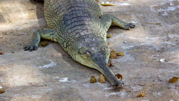gavial del Ganges