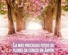 La más preciosas imagenes de flores de cerezo en Japón