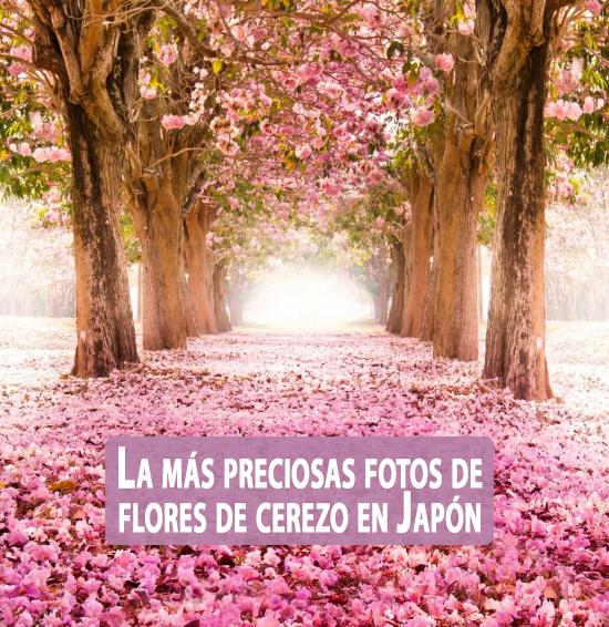 La m s preciosas fotos de flores de cerezo en jap n - Fotos flores preciosas ...