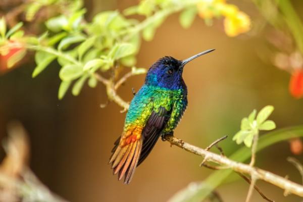 tipos especies colibries mexico