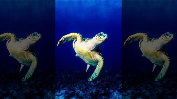Tortugas marinas fluorescentes