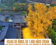arbol ginkgo 1400 años china templo budista