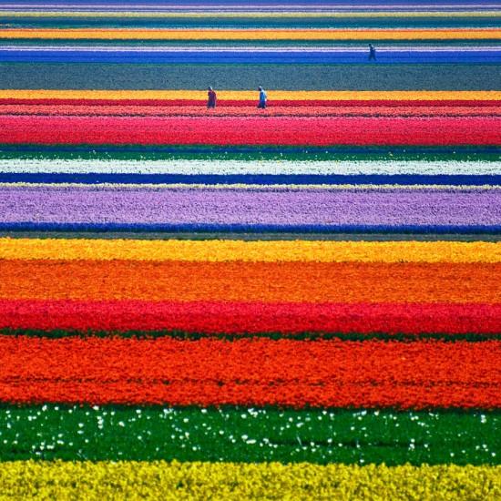 campo de tulipanes holanda
