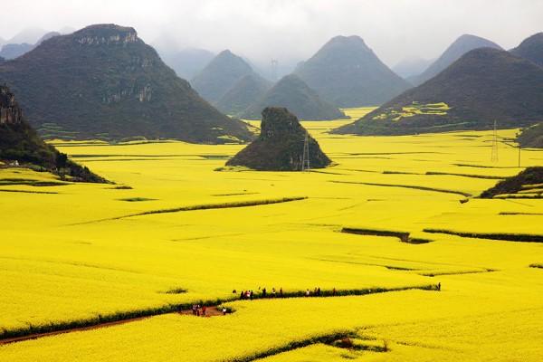 campo flores canola china