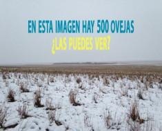 efecto optico truco foto 500 ovejas
