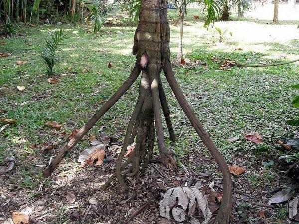 socratea exorrhiza palmera que camina