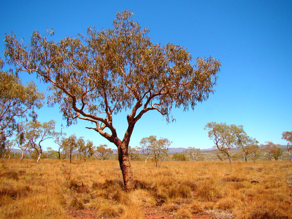 arbol-bloodwood