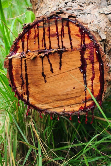 arbol bloodwood que sangra