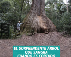 arbol bloodwood