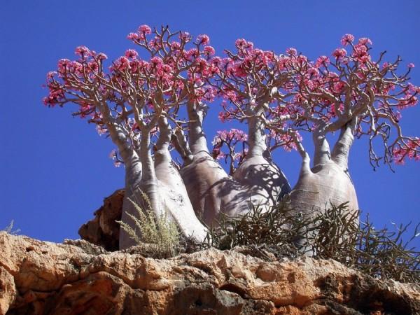 Árboles botella, Socotra