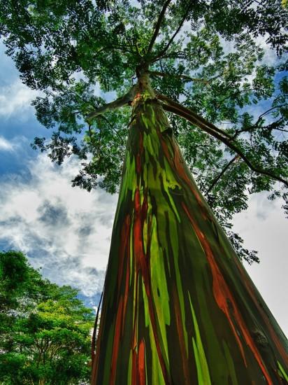 Eucalipto del arco iris, Hawái