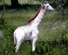rara jirafa blanca tanzania