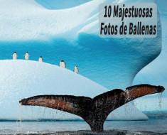 10 Majestuosas Fotos de Ballenas