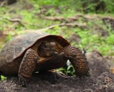 Nueva especie de tortuga es descubierta en Sonora