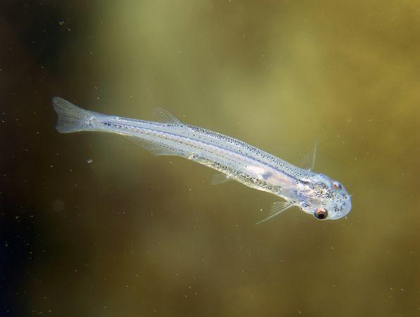 pez candiru orina peligroso