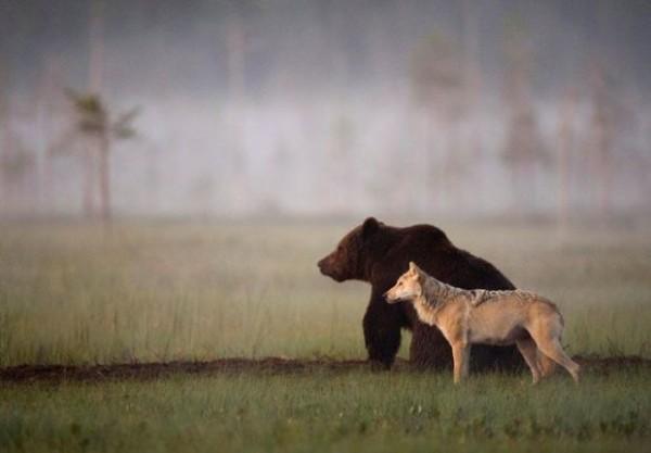 amistad entre oso y lobo